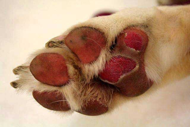 burnt paw